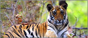 tiger Reserves in India - tiger watching